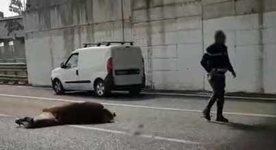 Torre Annunziata: cavallo investito in autostrada, traffico in tilt- IL VIDEO