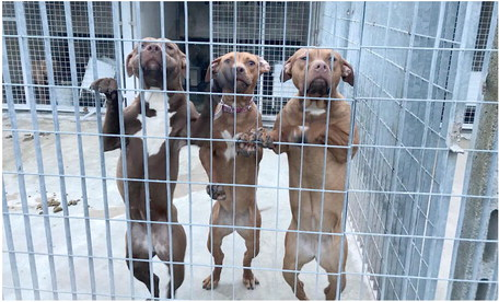 Allevamenti abusivi,  sequestrati 25 pitbull: c'è l'ombra dei clan